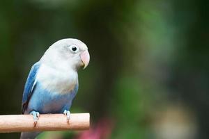 blauer Lovebird, der auf der Stange im Garten steht