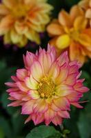 Nahaufnahme Dahlienblume im Garten
