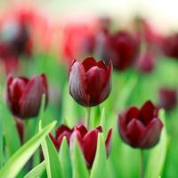 rote Tulpenblumen im Garten