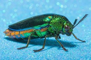 Buprestidae-Insekt auf blauem Hintergrund