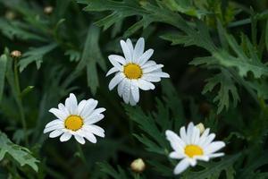 weiße Blumen, Nahaufnahme