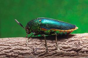 Buprestidae-Insekt auf grünem Hintergrund