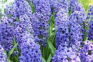 lila Blumen in der Natur foto