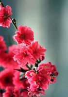 Strauchzweig mit roten Blüten