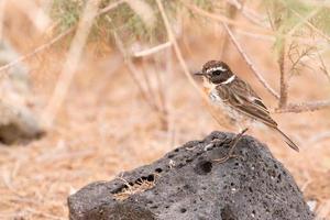 Porträt eines Fuerteventura-Chats foto