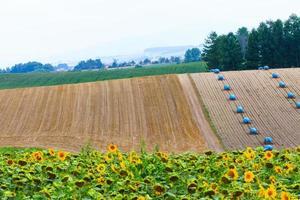 Feld der Sonnenblume mit Heuhaufen Hintergrund.