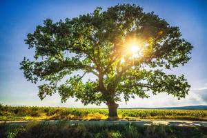 großer grüner Baum auf einem Feld, hdr foto