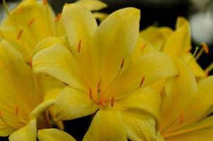 gelbe Flammenlilie foto