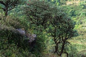 Baum bei Kew Mae Pan, Thailand foto