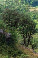 Bäume bei Kew Mae Pan, Thailand
