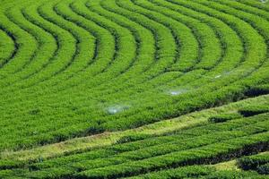 schöne frische grüne Teeplantage