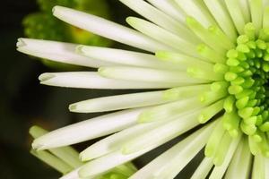 weiße Chrysanthemenborstenblume foto
