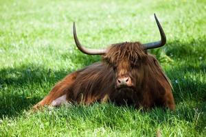 schottische Hochlandkuh über grünem Gras