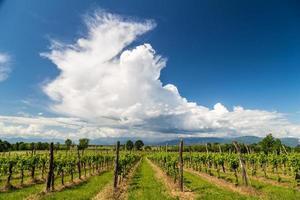 Weinrebefeld in der italienischen Landschaft