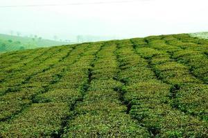 Grüntee-Plantagen in Vietnam