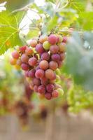 Zweig der Trauben am Rebstock im Weinberg