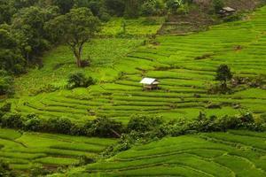 Reisfelder auf der Terrasse. foto