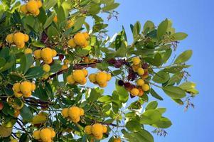 Erdbeerbaum lateinischer Name Erdbeerbaum unedo