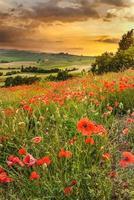 Mohnblumen in den toskanischen Hügeln mit einem wunderschönen Sonnenuntergang, Pienza