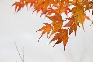 orange Ahornblätter