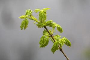 sprießende Blätter von Feldahorn