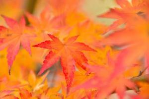 Herbstfarben der japanischen Ahornblätter