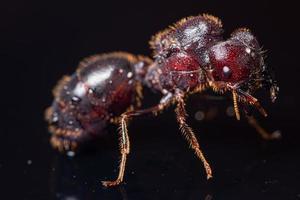 rotbraune Ameise auf schwarzem Hintergrund, Makro