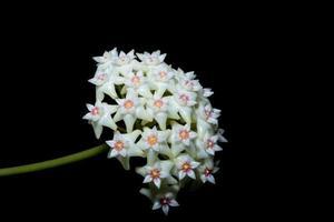 weiße Hoya-Blume auf schwarzem Hintergrund