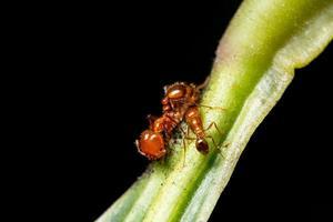 rote Ameisen an einer Pflanze