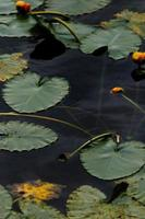 grüne Seerose auf dem Gewässer