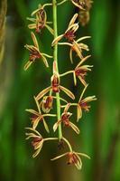 wilde Orchideenblüte mit grünem Hintergrund foto