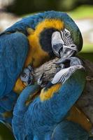 Paar blaue und gelbe Aras