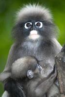 Affenmutter und -sohn (presbytis obscura reid). foto