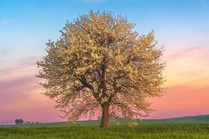 Frühlingslandschaft. Blühender Baum im Morgengrauen. zwischen Apulien und Basilikata Italien