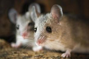 zwei Mäuse im Nest foto