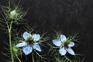 Nigella Blüten und Knospen auf Schiefer