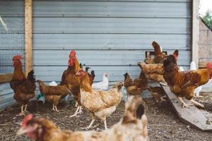 Hühnerherde in der Nähe von Farmschuppen