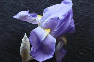 Irisblume und Knospe foto