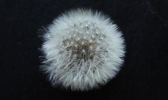 eine Löwenzahnblume foto