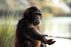 Schimpanse foto
