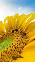 Bienen auf einer Sonnenblume