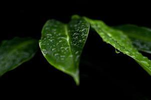 Tau auf grünen Blättern