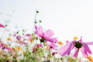 Kosmosblume auf weißem Hintergrund
