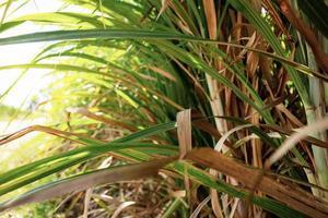 Zuckerrohrblätter mit hellem Hintergrund