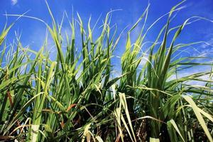 Zuckerrohr mit blauem Himmel