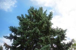 die Spitze eines Tannenbaums unter einem bewölkten Himmel