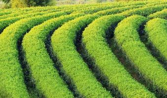 Teeplantagenwechsel ri nördlich von Thailand.