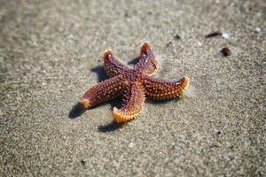 Nahaufnahme von braunen Seesternen im Sand