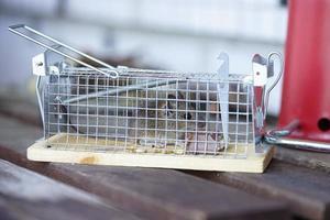 Maus in Falle gefangen