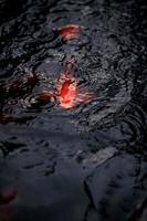 lebhafte Koi-Fische nähern sich der Wasseroberfläche